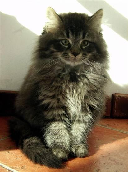 Siberiano for Allontanare i gatti
